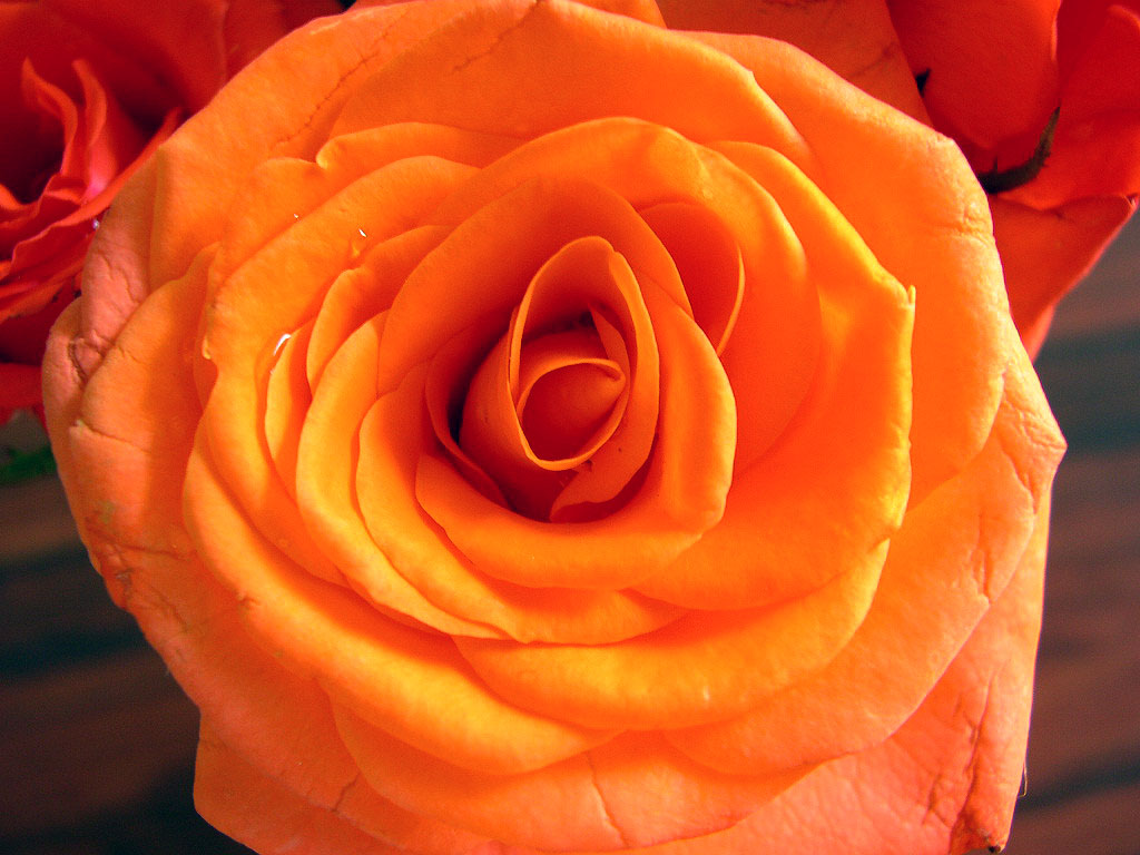 фотобумага роза с палкой картинка оранжевая всей нашей планеты